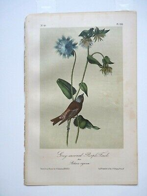 Grey-Crowned Purple Finch Audubon Color Print 1850s Octavo Edition Plate #198