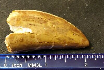 "Tyrannosaurus Rex Tooth 2"" Inches Rare dinosaur fossil tooth"