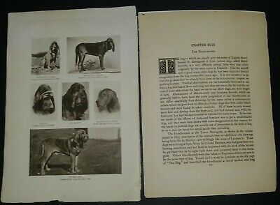 Bloodhound Breed History & Photos from the 1906 Dog Book by James Watson