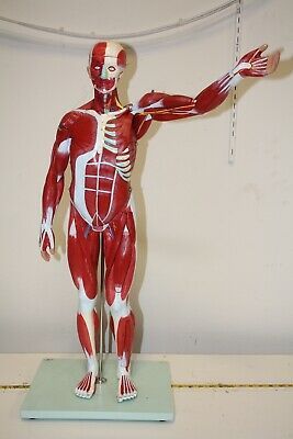 Wellden Product Anatomical Human Muscular Figure Model, Numbered