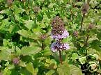Mentha piperita PEPPERMINT Fragrant Leaves Seeds!