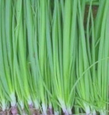 RED SPRING ONION REDDY SEED AP 100 SEED 99p +FREEPOST
