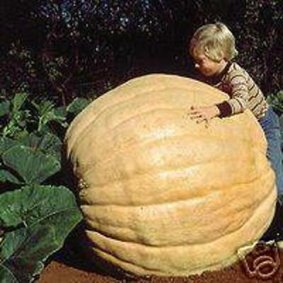 PUMPKINS ATLANTIC GIANT AP 5  SEED Vegetables 1.64p FREEPOST