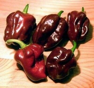 PEPPER HOT CHILLI HABANERO CHOCOLATE AP 15 SEED 1.10p FREEPOST