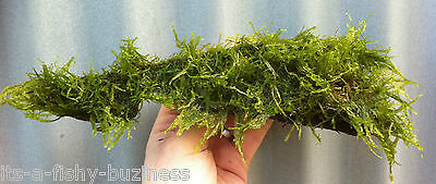 JAVA Moss on Bogwood *VESICULARIA DUBYANA* live UK