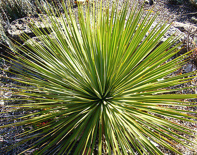 20 Seeds - Thomson's Yucca - Yucca thompsoniana