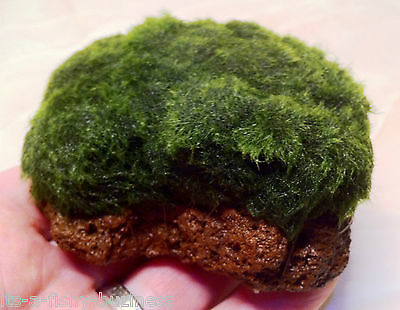 Green blanket Marimo Moss Lava Rock Live Aquarium Plants Java Shrimp