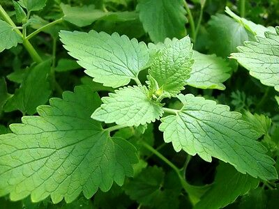 2500 CATNIP SEEDS - Nepeta cataria