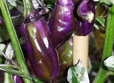 Very Hot Purple Tiger Chilli - A Stunning Chilli with Beautiful Spicy Aroma!