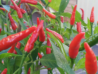 Extreme hot Thai Chilli, Heavy Yield - 30 Seeds