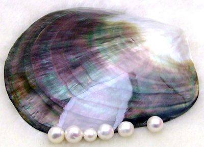 SALE GENUINE Big 8-9CM Gray Natural CLAM Oyster hand burnish Shell Smooth-p32