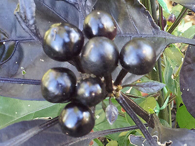 RARE Black Pearl Chilli - One of the most Beautiful Chilli Variety - 10 Seeds