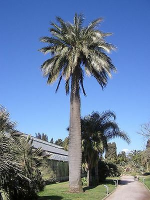 5 Seeds -  Chilean Wine Palm - Jubaea chilensis