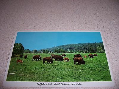 1950s BUFFALO HERD at LAND BETWEEN the LAKES KY. TN. VTG POSTCARD