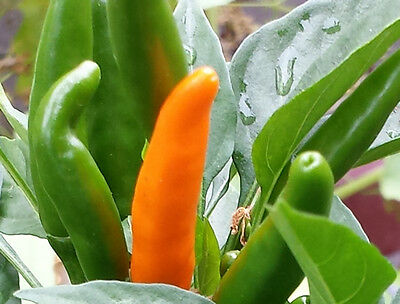 Super Hot Thai Skinny Yellow Chilli, High Yield & Frost Tolerant - 10 Seeds