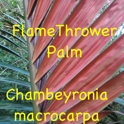 ~FLAMETHROWER PALM~ Chambeyronia macrocarpa Red Leaf Palm 6-12+in Live Seedling