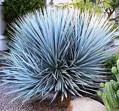 Blue Yucca - Yucca rigida - Wholesale - 500 Quality Seeds