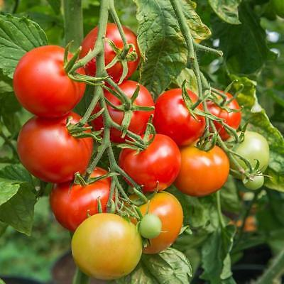 New Pack Kings Vegetable Seeds Tomato 'Shirley F1' Superb Variety Greenhouse