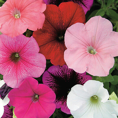 New Pack Kings Seed Petunia 'Carnival Mixed' F2 Quality Flower Seeds