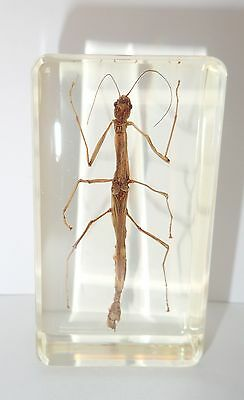 Stick Insect (Entoria sp.) in 73x40x22 mm Clear Block- Education Insect Specimen