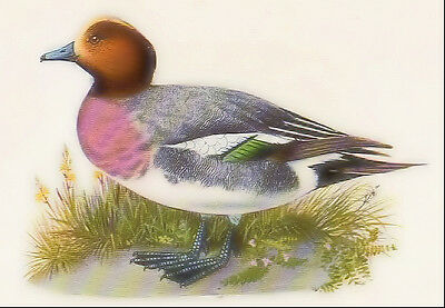 1940's vintage WIGEON DUCK & GARGANEY DUCK original early offset printing
