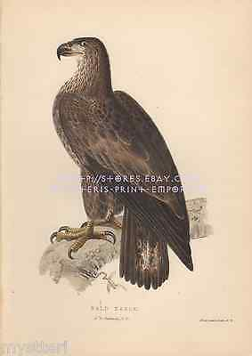 American Bald Eagle-Bird-1851 OLD ANTIQUE VINTAGE HAND COLORED ART PRINT-Picture