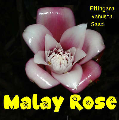 ~Malay Rose~ TORCH GINGER Iridescent Pink Wht FLOWERS Etlingera venusta 15 SEEDS