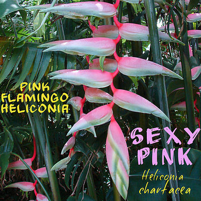 ~SEXY PINK~ Heliconia chartacea cv Pink Flamingo Collector's Heliconia 5 Seeds