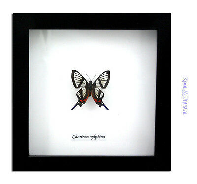 Black Sylphina Angel Butterfly (Chorinea sylphina) * Museum Mount Taxidermy