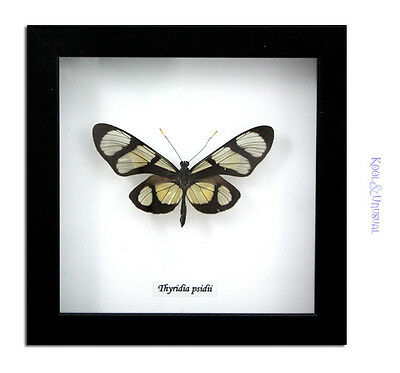 Melantho Tigerwing Butterfly (Thyridia psidii) * Museum Mount Taxidermy