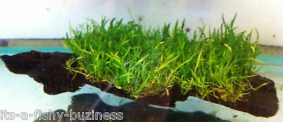 "Lilaeopsis brasiliensis Brazilian Micro Sword on 3"" Drift wood Aquarium Plant"
