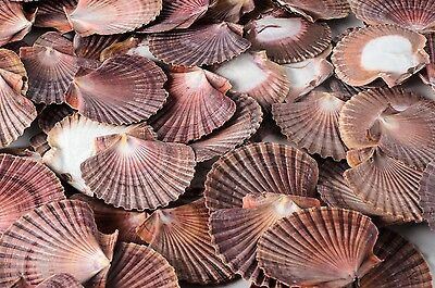 "Mexican Flat Sea Shell Beach Craft Scallop 2"" - 3"" ( 25 PCS )"