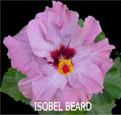 Hibiscus Plant X1 Exotic Evergreen Tropical Flower Plants Isobel Beard
