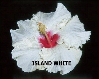 Hibiscus Plant X1 Exotic Evergreen Tropical Flower Plants Hawaiian Island White