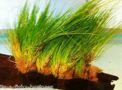 "Eleocharis Parvula Hairgrass"" Growing on Bogwood Live Aquarium Plants"