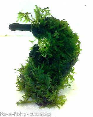 Vesicularia Montagnei Christmas Xmas Moss on Bog wood Live Aquarium Plant