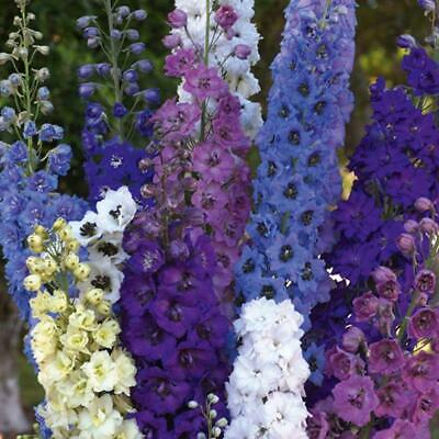 New Pack Kings Seed Delphinium 'Pacific Mixed' Quality Flower Seeds