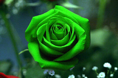 25 semi di ROSA VERDE / GREEN ROSE