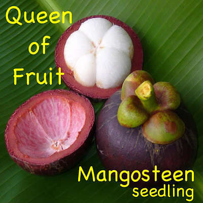 ~Queen of Fruits~ PURPLE MANGOSTEEN Garcinia mangostana RARE FRUIT Potd starter