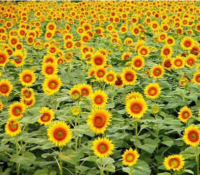 FD1039 Flower Potted Dwarf Sunflower seeds Helianthus Annus Annual herb ~20PCs:)