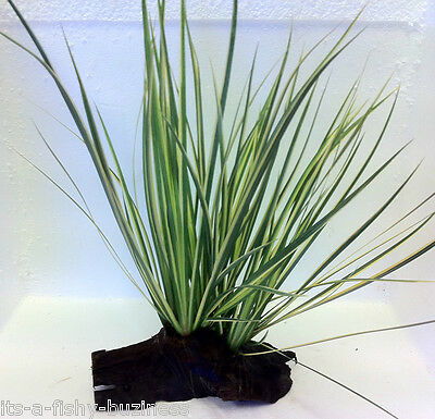 Japanese Rush Acorus Gramineus Bogwood Live Fresh Water Aquatic Terrarium Plant
