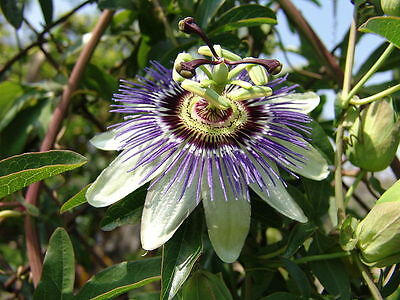 100 BLUE PASSION FLOWER Passiflora Caerulea seeds BULK