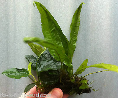 2x  Anubias Nana - Java Moss - Java Fern Plants on Small Bogwood co2 nano crab