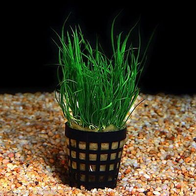 Brazilian Micro Sword Lilaeopsis brasiliensis  Pot Fish Shrimp Safe java