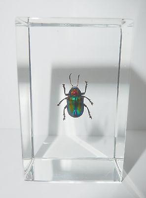 Shining Leaf Beetle (Acrothinium gaschkevitschii) - Insect Specimen Clear Lucite