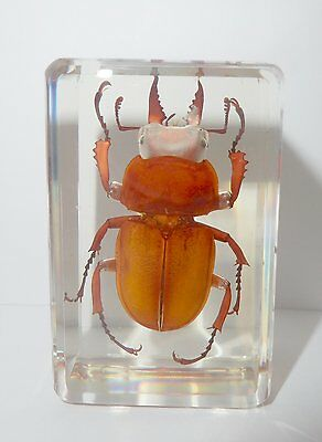 Golden Brownish Stag Beetle - Insect Specimen in Clear Lucite Paperweight