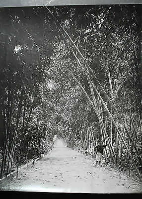 antique old PHOTO LEROUX HUGE BAMBOO BOULEVARD GARDEN AFRICA  ALGERIA ALGER