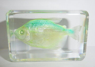 Green Skirt Tetra Fish (in small Clear Paperweight) - Education Fish Specimen