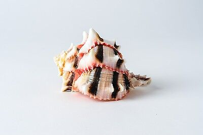 "Brassica Murex Phyllonotus erythrostomu Hermit Crab Sea Shell 3"" - 4"" (1 PC)"