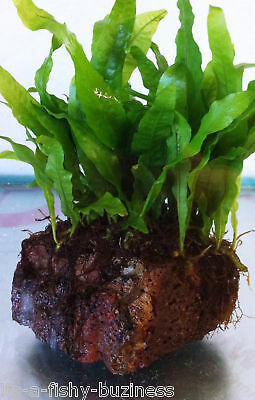 Java Fern on Lava Rock Live Tropical Aquarium Plant  UK